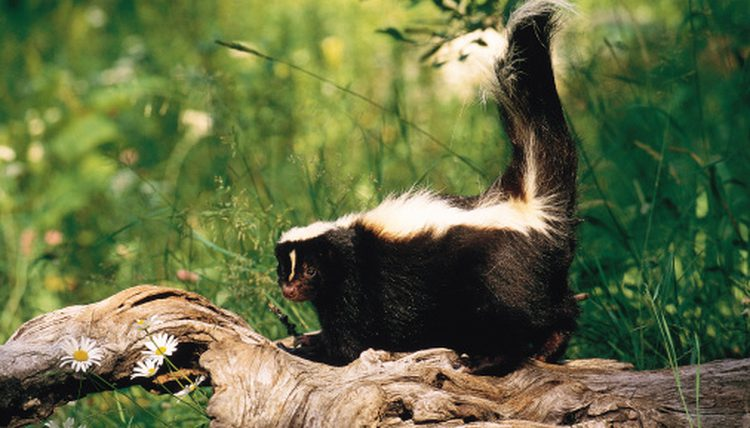 How to Get Rid of Skunks in Your Yard