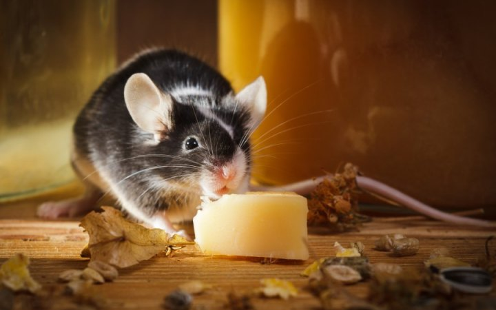 Top Mouse Poisons and Pellets