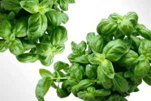 Drying Basil