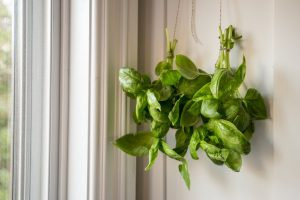 How to Preserve Basil Leaves