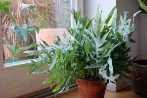 Blue Star Fern Pictures
