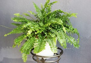 Boston Fern (Sword Fern)