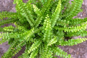Button Fern Picture