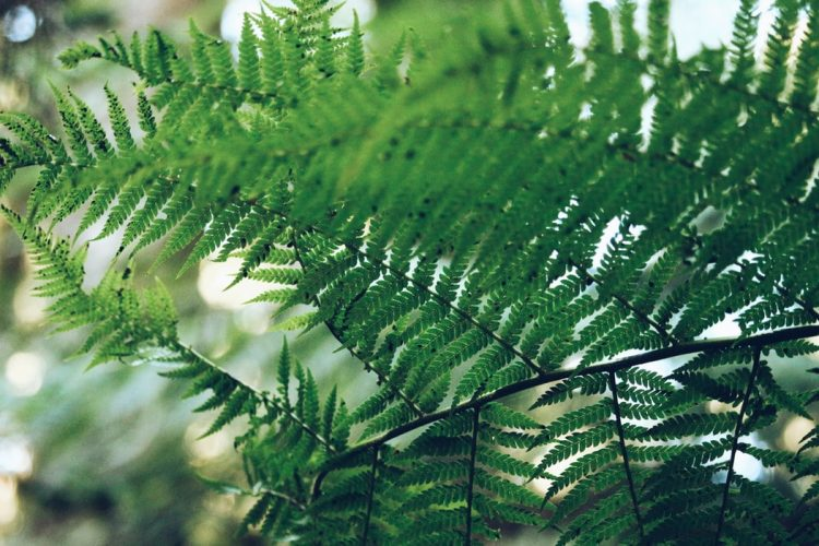 different types of ferns